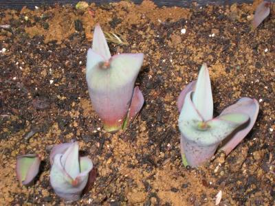 チュウリップの芽