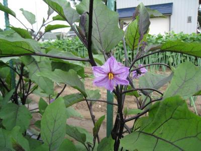 Iなすの花