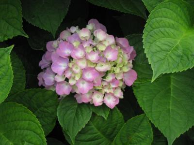 I紫陽花④