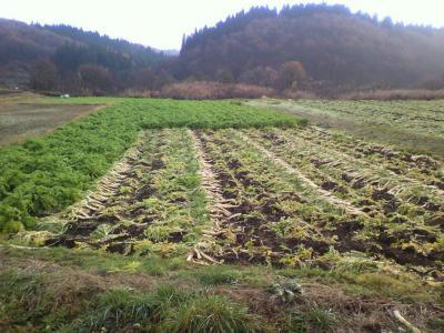 大根畑 の 風景