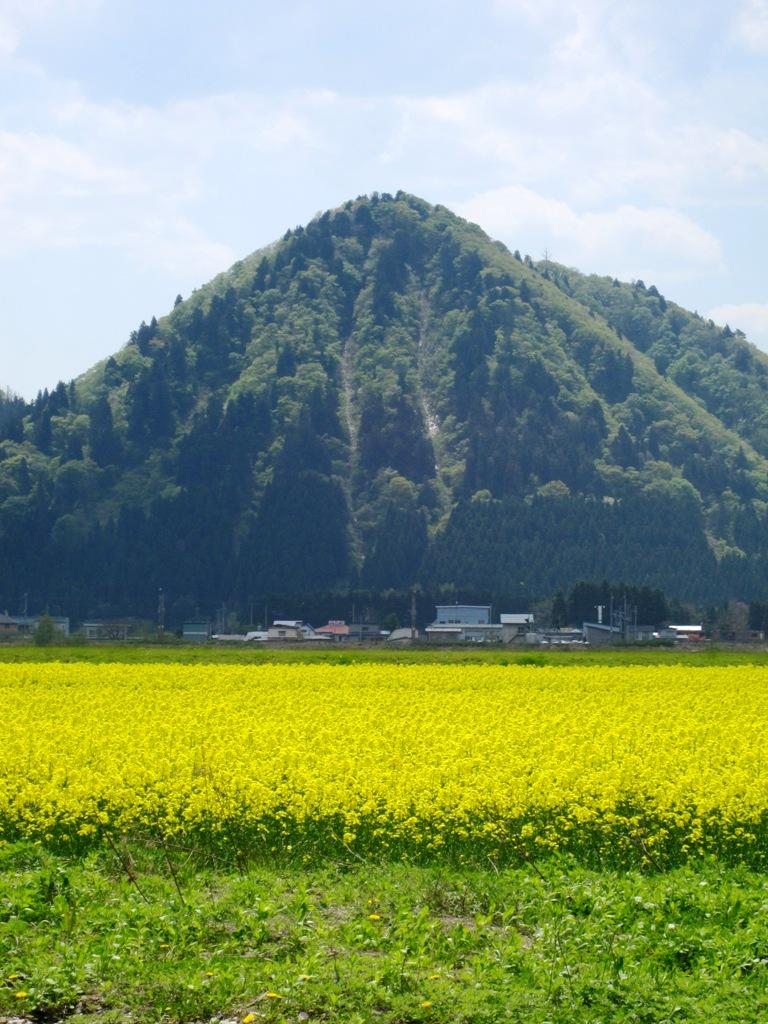 2011.5.16菜の花②