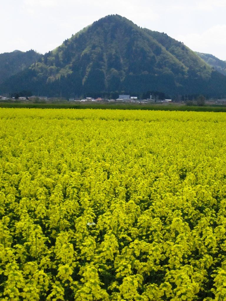 2011.5.16菜の花④