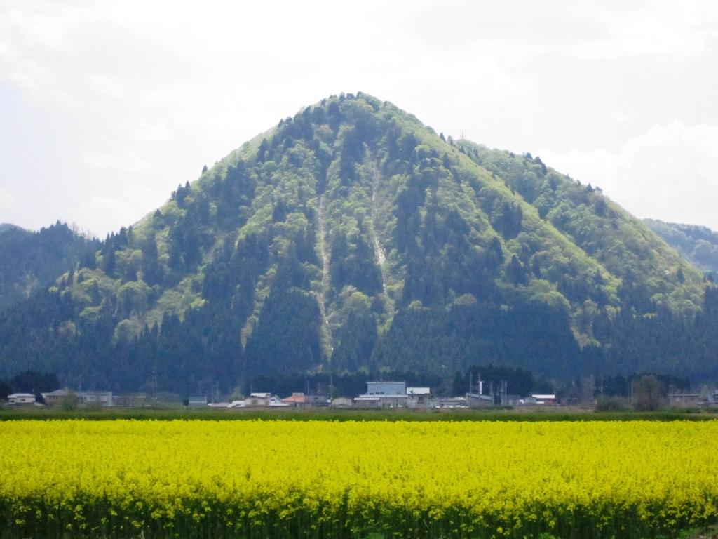 2011.5.16菜の花⑤
