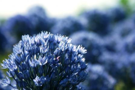花が咲く前はネギ臭なの
