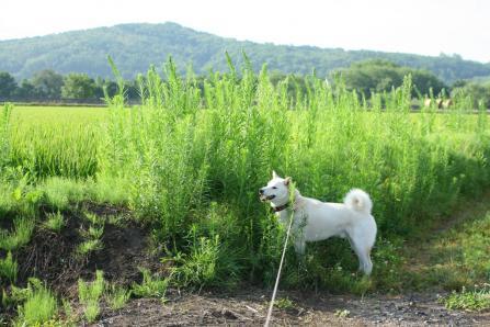 田んぼの畦も草ボーボー