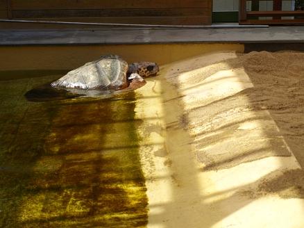 乾いたウミガメ