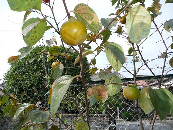 大秋の熟柿 09,9,27 007