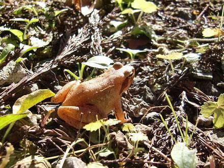 大きさ5cm程の金色のカエル
