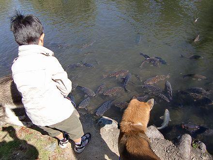集まってくる鯉
