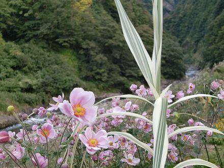 清津峡の花