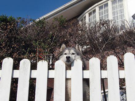 柵から顔を出す詩音ちゃん