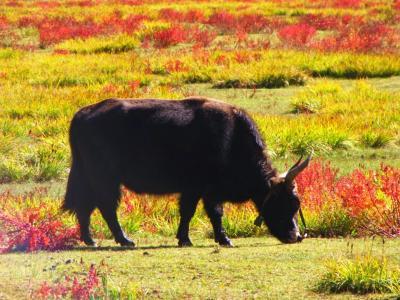 草紅葉と牛さん②@香格里拉