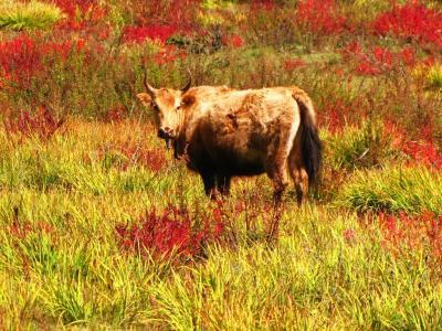草紅葉と牛さん①@香格里拉