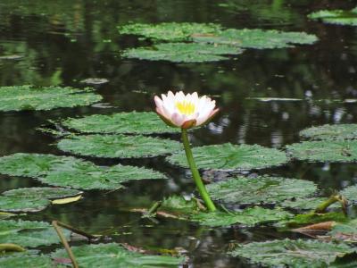 池に咲く一輪花@デット島