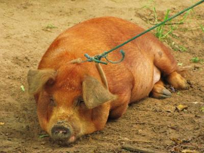 ダメ豚の図@デット島