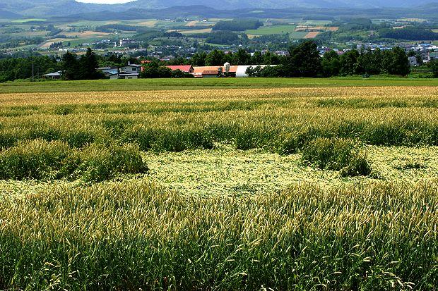 7月11日夏の麦畑No1