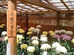 中尊寺菊まつり11