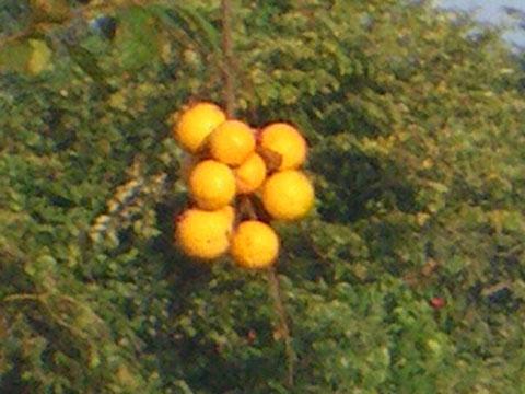 柿の鈴なり