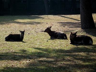 奈良公園の鹿20111229