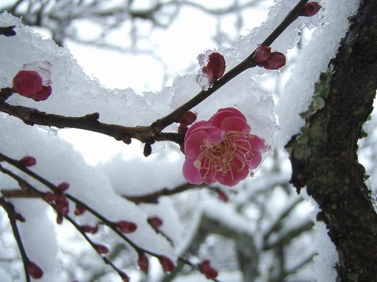 東慶寺の梅2-20120229