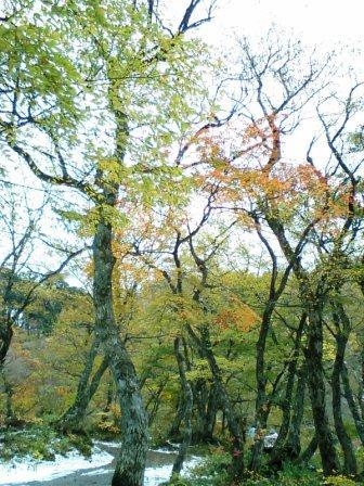雪とブナの黄葉