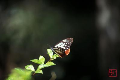 アサギマダラ