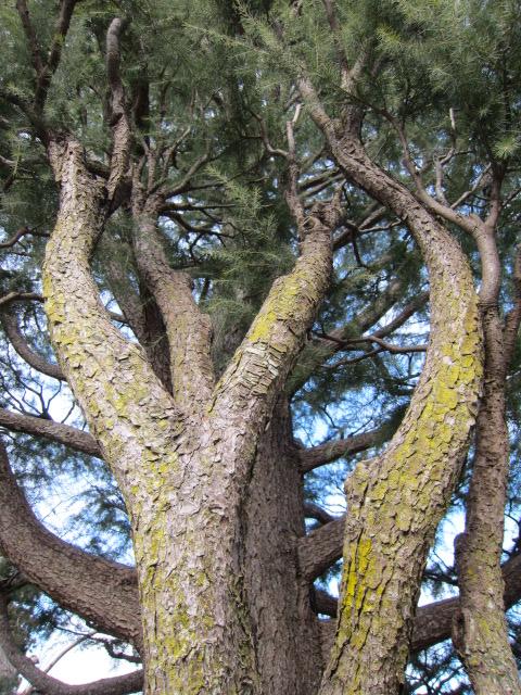 木 がましお