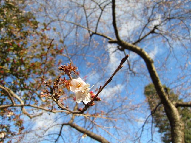 四季桜 がましお