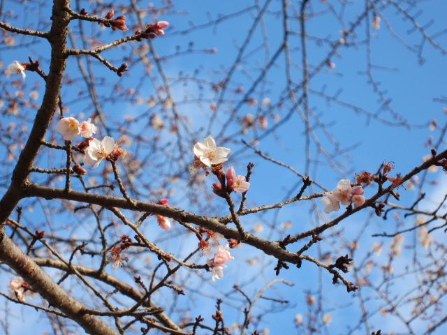 鹽竈神社 四季桜