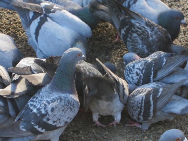 ハトのおしり 塩釜 2012