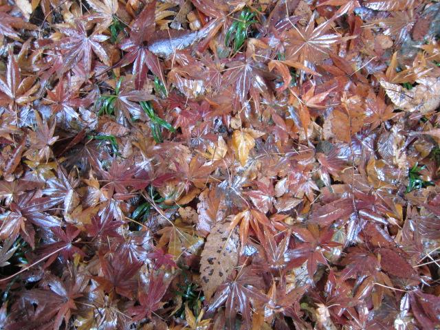 濡れ落ち葉  昨年末に鹽竈神社で撮影