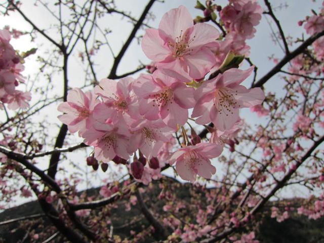 河津桜 2分咲き 3.1