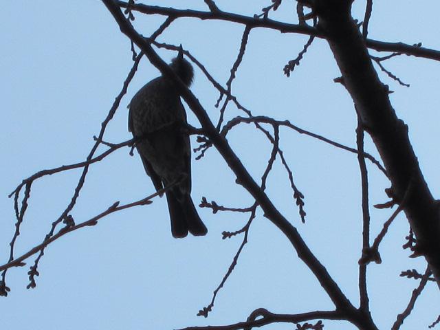 桜の枝にとまるヒヨドリ
