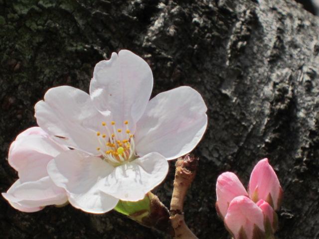 桜 開花宣言 東京 2012.3.31