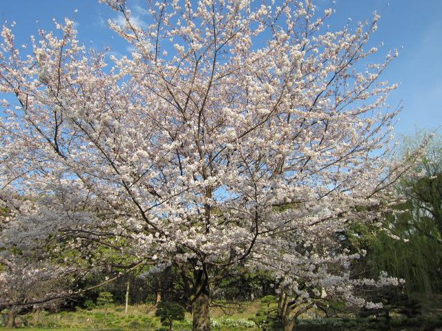 桜 清澄庭園