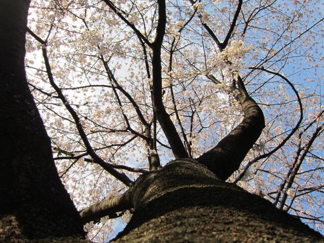 桜の下 清澄庭園