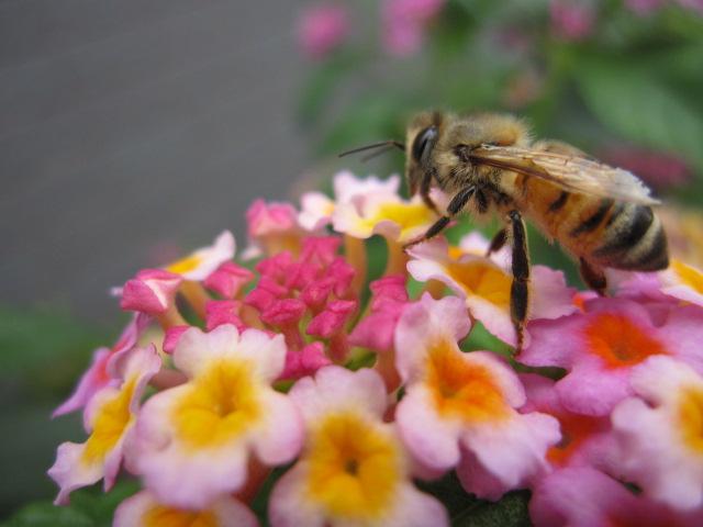 コバノランタナ ミツバチ