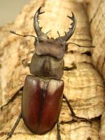 クリイロミヤマ原名亜種53