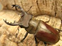 クリイロミヤマ原名亜種54