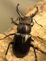 クリイロミヤマ北部亜種39