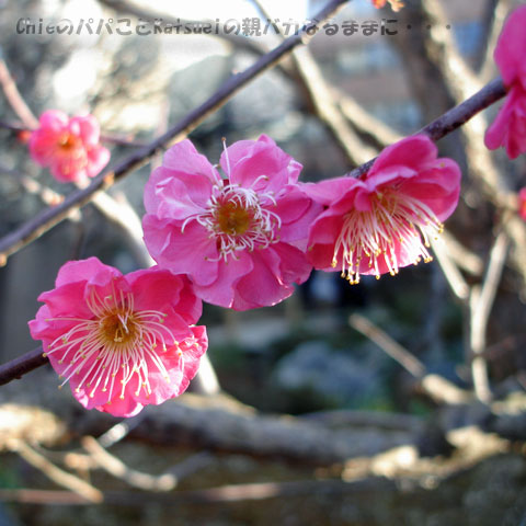湯島天神梅まつり 紅梅 2010-02-20