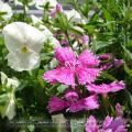 白いビオラとピンクのナデシコ 2010-05-16