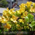 黄色いカランコエ 2010-05-16