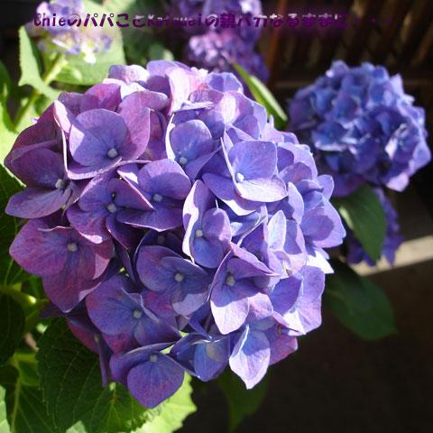 ベランダの紫陽花 2010-06-15