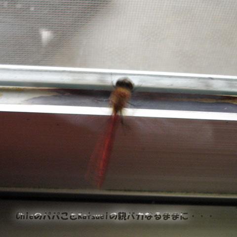 赤とんぼ 2010-10-30