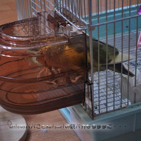 小桜インコのピーチちゃん、お洗濯ですか? 2010-11-30