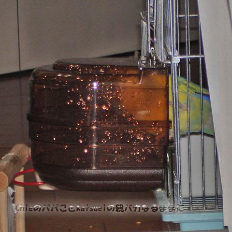 小桜インコのピーチちゃん、バードバスを覗く 2010-11-30