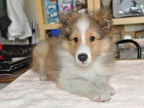 オクト系の子犬
