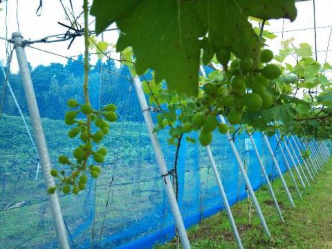 grape_garden4