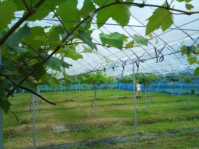 grape_garden1